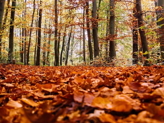 Muitas folhas secas de bordo de outono caídas no chão cercadas por árvores altas