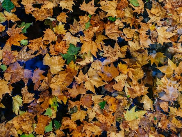 Muitas folhas secas de bordo de outono coloridas em uma superfície molhada