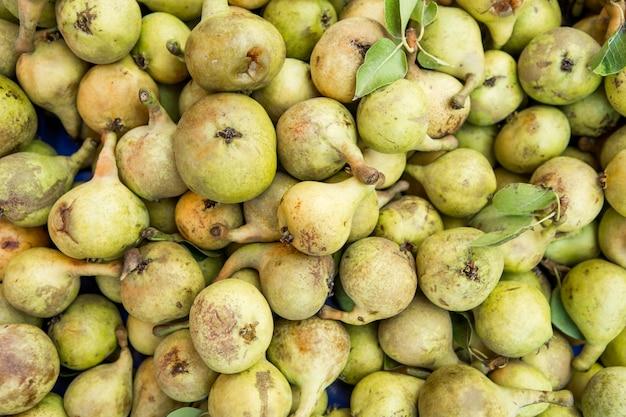 Muitas frutas peras frescas arrancadas do galho da árvore de peras.