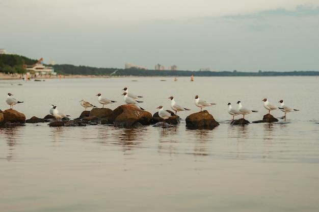 Muitas gaivotas sentadas nas rochas no mar