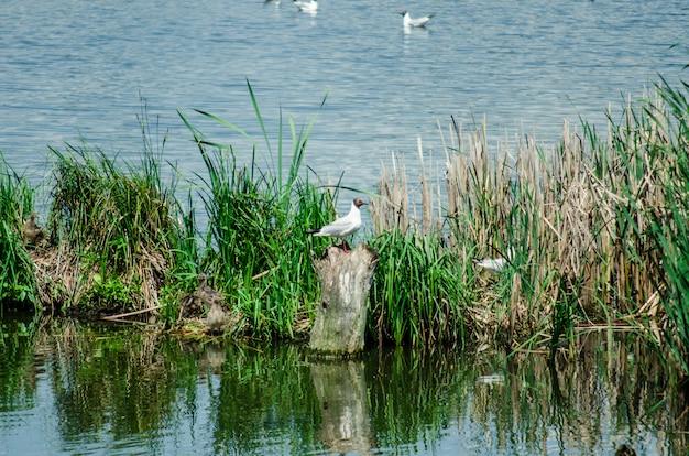Muitas gaivotas voam sobre o lago em busca de comida
