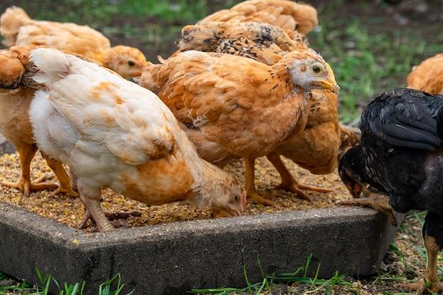 Muitas galinhas domésticas comem comida, bandos de frango