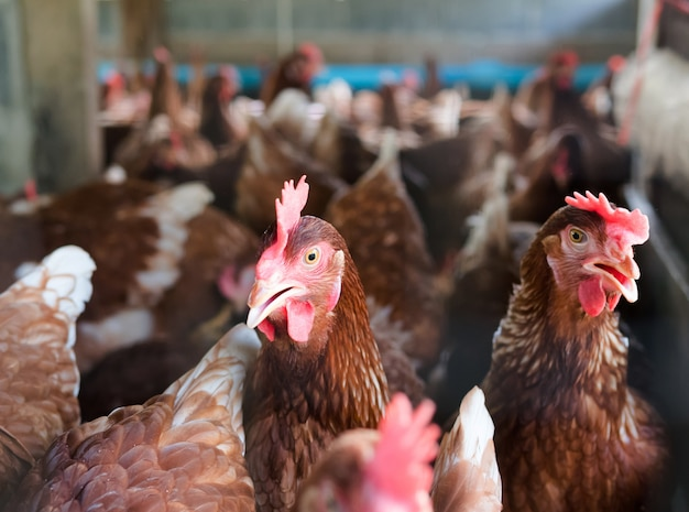 Muitas galinhas estão na fazenda com fundo desfocado.