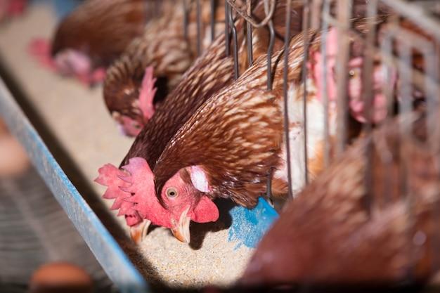 Muitas galinhas na granja.