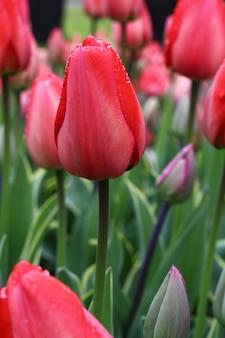 Muitas lindas tulipas no jardim.