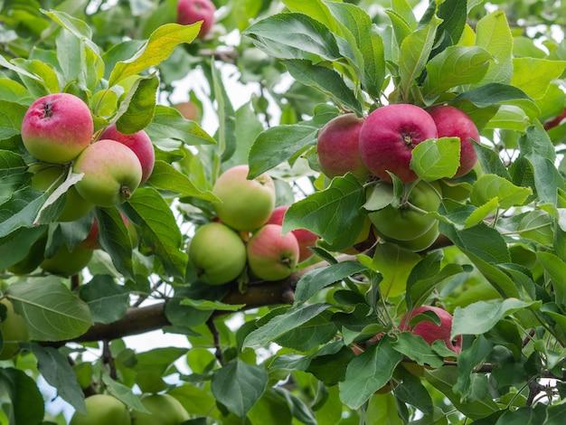 Muitas maçãs vermelhas maduras em galhos na árvore no jardim