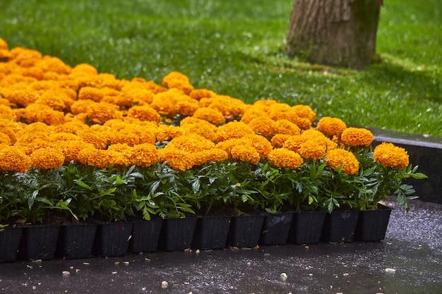 Muitas mudas brilhantes de flores em recipientes de plástico
