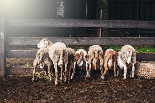 Muitas ovelhas fofas na alimentação, todas viradas para trás e comer feno. na fazenda.