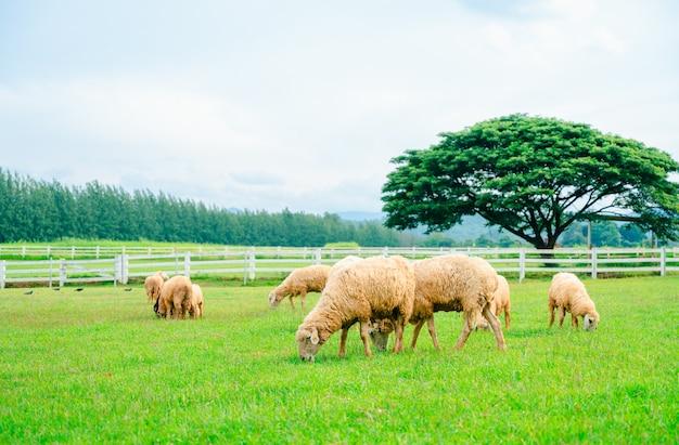 Muitas ovelhas no prado, rebanho de ovelhas pastando em uma fazenda verde
