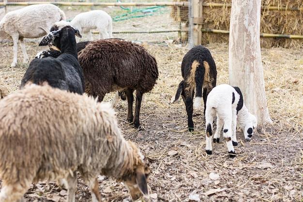 Muitas ovelhas têm um preto e um branco e um marrom como parte de sua família.