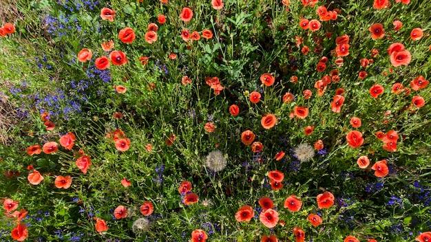 Muitas papoilas vermelhas de flores silvestres.