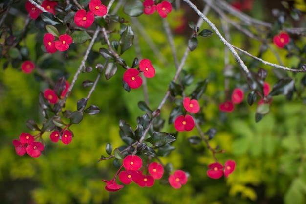Muitas pequenas flores vermelhas nos galhos de uma árvore tropical