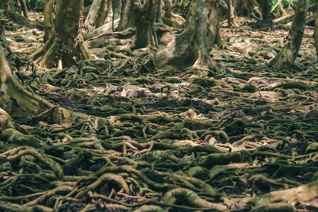 Muitas raízes de árvores na floresta de mangue são usadas para a adesão.