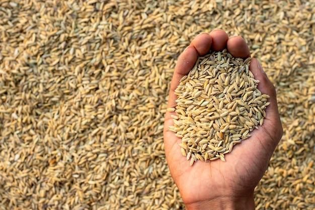 Muitas sementes de arroz nas mãos dos homens.