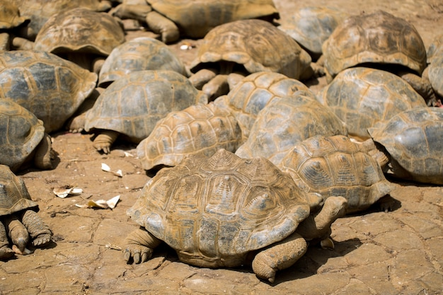 Muitas tartarugas gigantes no parque nacional la vanille maurício