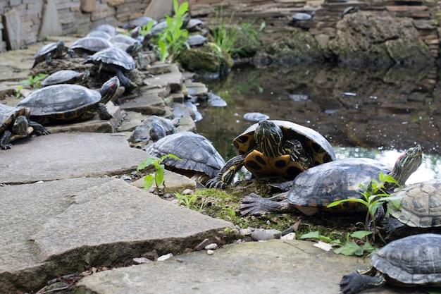 Muitas tartarugas se aquecem nas rochas do lago de água doce do jardim. animais. fauna