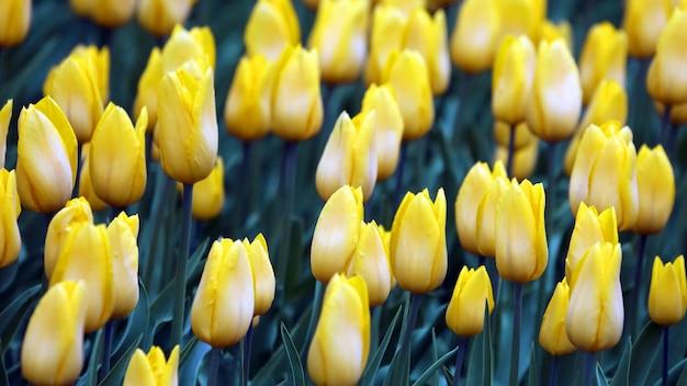 Muitas tulipas amarelas brilhantes crescendo. botânica de flores