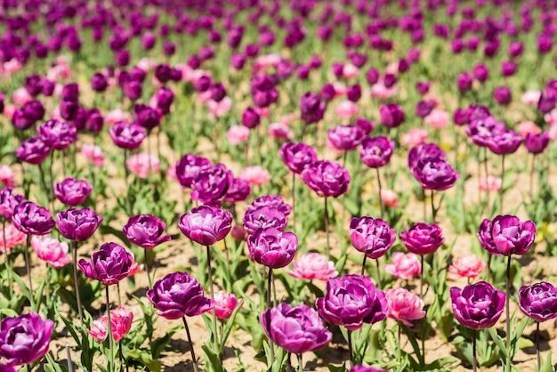 Muitas tulipas roxas frescas. fazenda de flores e loja. feliz dia das mães. conceito de dia das mulheres. 8 de março. primavera e verão. lindo aroma e perfume. conceito de alergia. beleza. campo de flores de tulipa.
