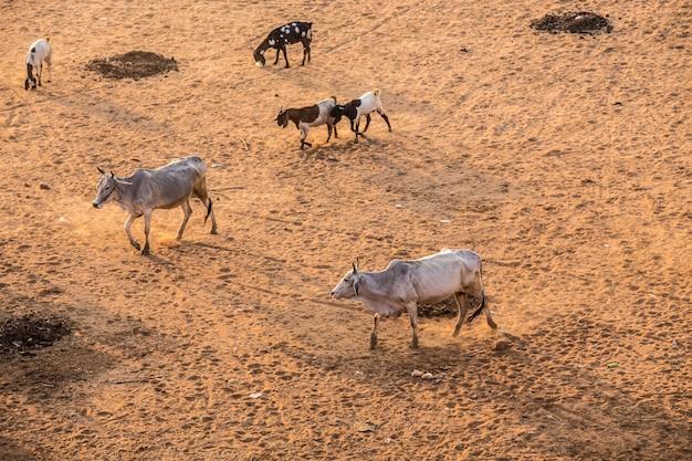Muitas vacas asiáticas são complicadas.