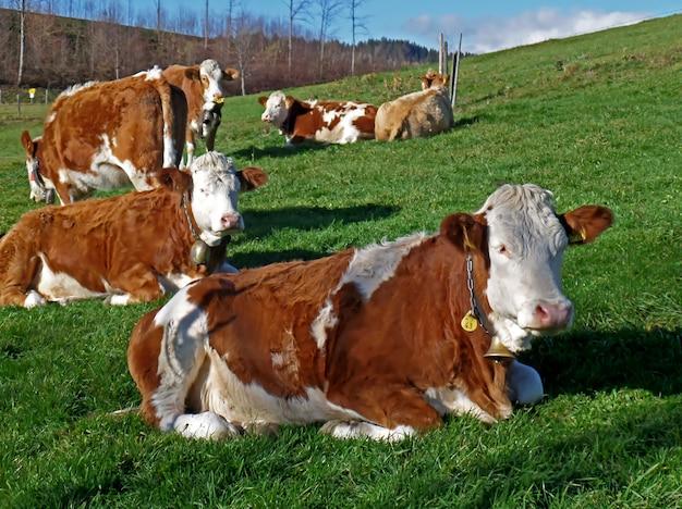 Muitas vacas marrons e brancas relaxantes no prado verde