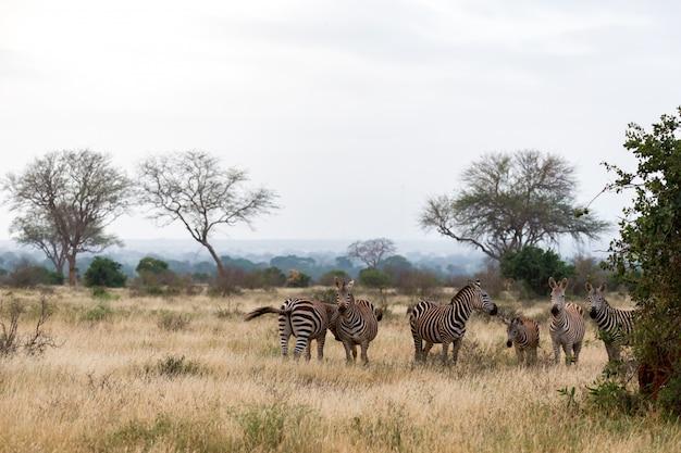 Muitas zebras em pé na grama