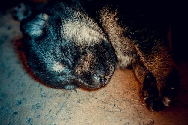 Muito bom focinho de um cachorrinho recém-nascido pastor alemão closeup