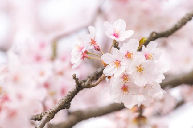 Muito bonito japão sakura flor de cerejeira na primavera