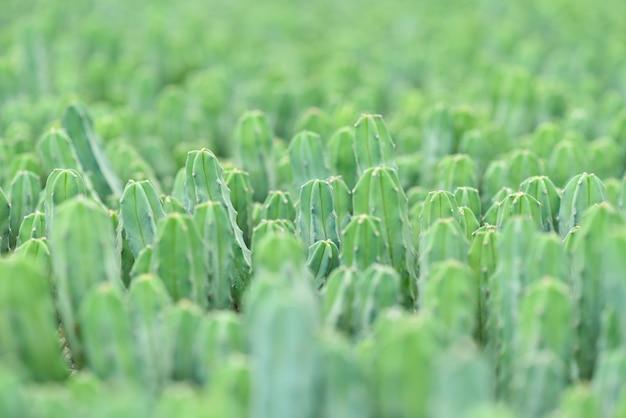 Muito cacto verde no jardim. foco seletivo.