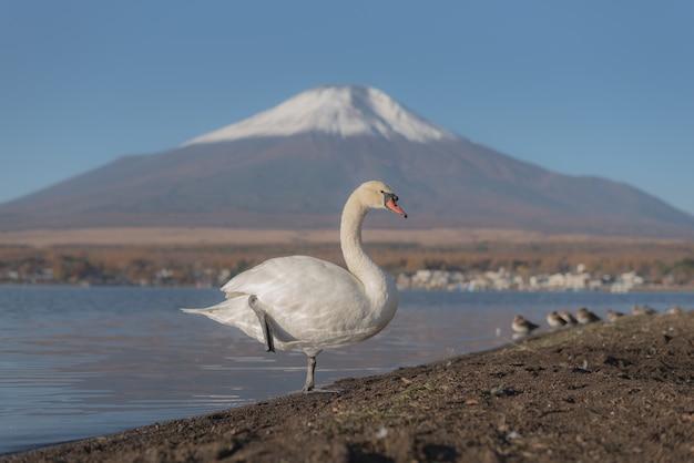 Muito lindo cisne branco no lago yamanaka com o monte. fundo de fuji, lugar famoso e pacífico