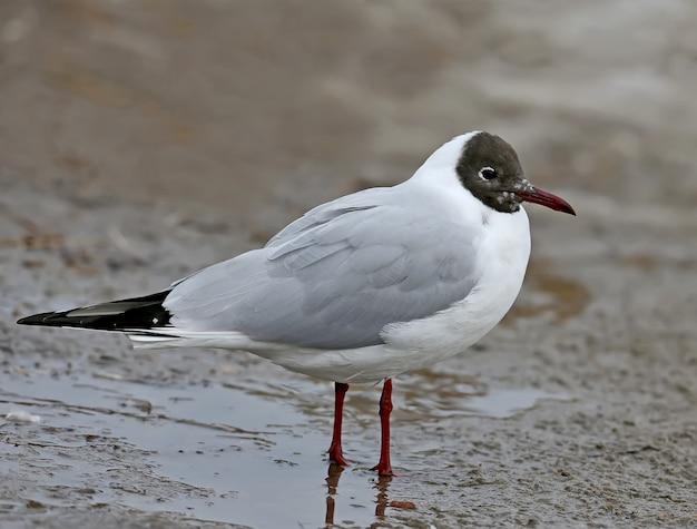 Muito perto de uma gaivota de cabeça preta adulta em plumagem reprodutiva fica em um terreno