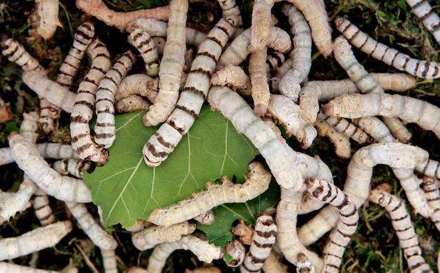 Muitos bichos da seda comendo folhas de amoreira