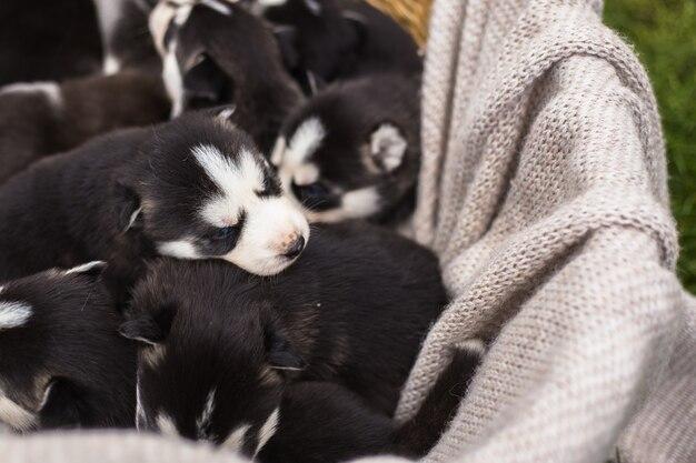 Muitos cachorrinhos husky