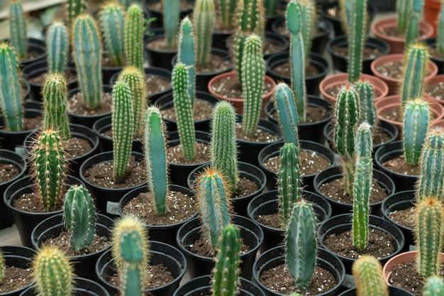Muitos cactos em vasos na loja de flores. cactos