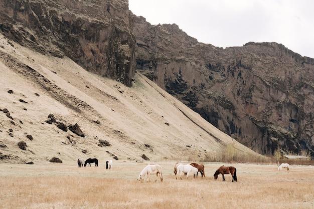 Muitos cavalos coloridos pastam em um campo contra a montanha, o cavalo islandês é uma raça de cavalo