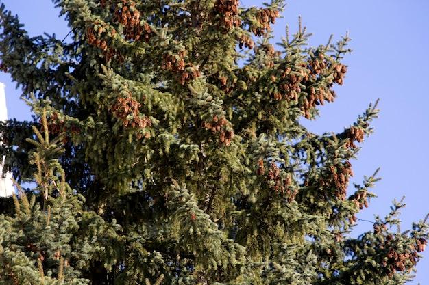 Muitos cones pendurados nos galhos da árvore de natal.