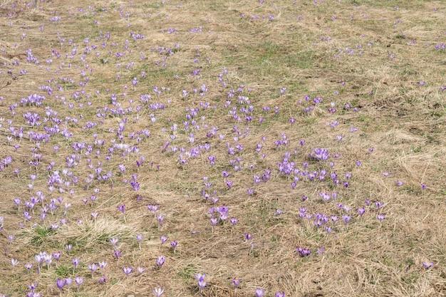 Muitos croci violeta selvagem ou crocus sativus no início da primavera