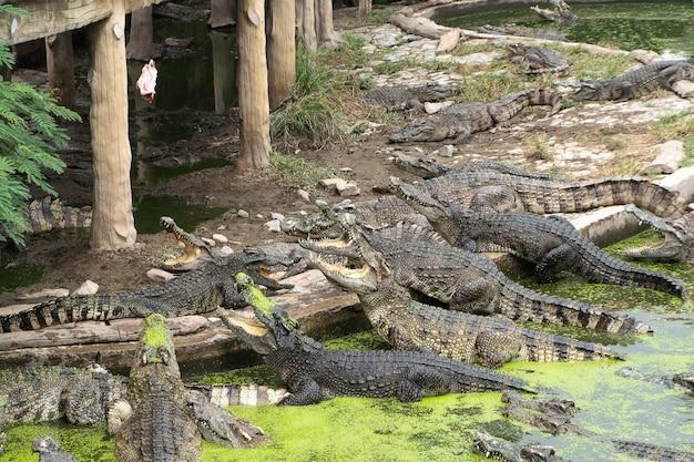 Muitos crocodilos na lagoa estavam abrindo a boca
