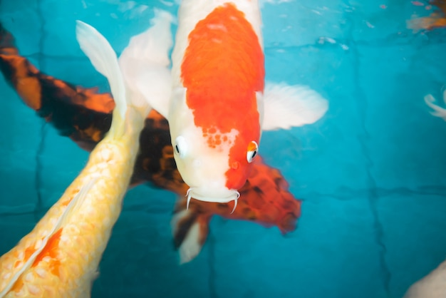Muitos dos peixes koi nadando em um jardim de água, coloridos peixes koi