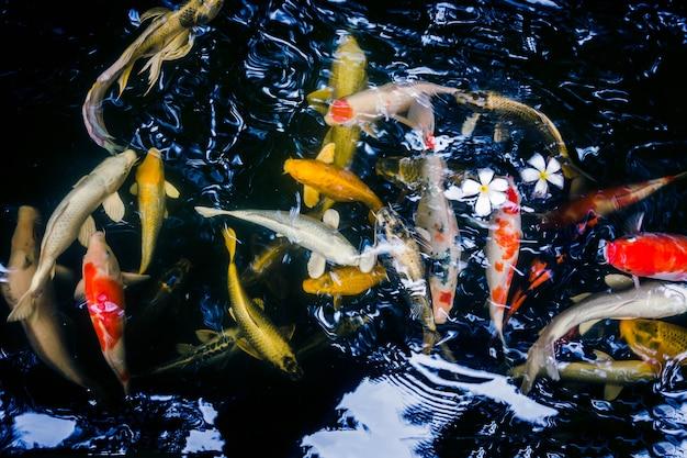 Muitos dos peixes koi nadando em um jardim de água, peixes coloridos koi