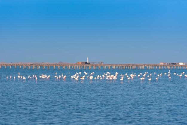 Muitos flamingos cor de rosa no delta de ebro, espanha