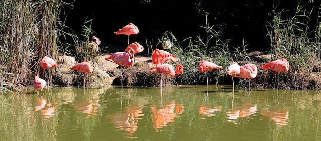 Muitos flamingos na água no verão