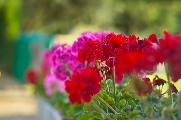 Muitos gerânios coloridos em plena floração com fundo verde embaçado. ótima imagem para usar como plano de fundo e recurso gráfico.