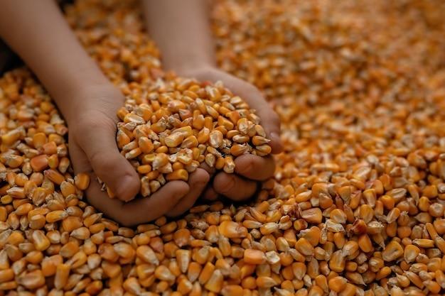 Muitos grãos de milho espalhados, as mãos segurando o milho em punhados.