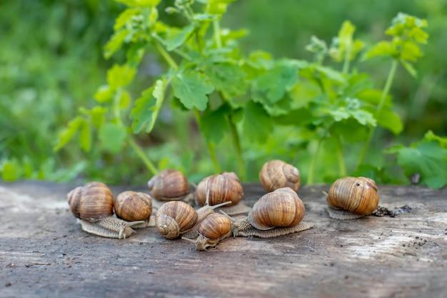 Muitos helix pomatia, caracol da borgonha, caracol romano, caracol comestível ou escargot na placa de madeira