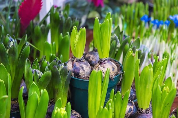 Muitos jacintos de flores em vasos são vendidos em uma floricultura. foco seletivo. natureza.