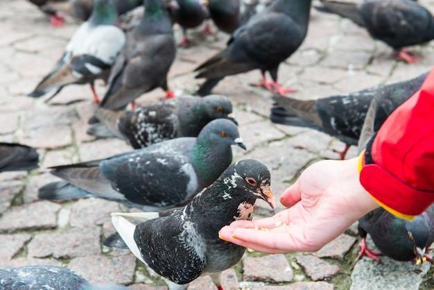 Muitos pássaros, pombos, alimentando-se da mão de uma mulher em uma praça da cidade