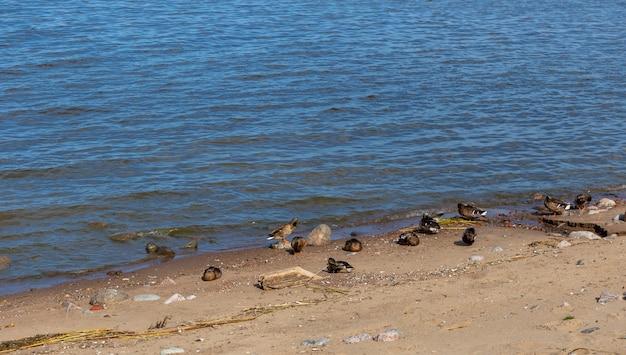 Muitos patos na costa