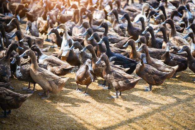 Muitos patos na fazenda local