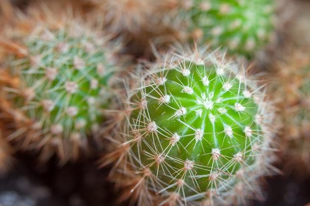 Muitos pequenos cactos globulares verdes close-up