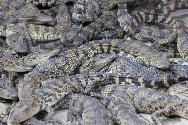 Muitos pequenos crocodilos